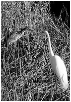 American Bittern and Great White Heron. Everglades National Park, Florida, USA. (black and white)