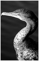 Cormorant. Everglades National Park, Florida, USA. (black and white)