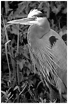 Blue heron. Everglades National Park ( black and white)