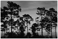 Slash pines silhouettes at sunrise. Everglades National Park ( black and white)