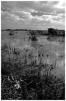 Predominantly freshwater swamp with mangrove shrubs, morning. Everglades National Park ( black and white)