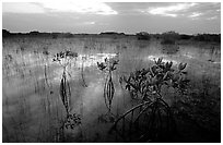 Red Mangroves (scientific name: Rhizophora mangle) at sunrise. Everglades National Park ( black and white)