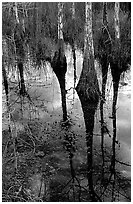 Pond Cypress reflections near Pa-hay-okee. Everglades National Park, Florida, USA. (black and white)