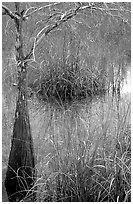 Swamp with cypress and sawgrass  near Pa-hay-okee, morning. Everglades National Park ( black and white)