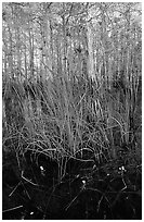 Yellow carnivorous flower and cypress. Everglades National Park, Florida, USA. (black and white)