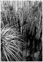 Cypress dome with bromeliad and cypress trees. Everglades National Park, Florida, USA. (black and white)