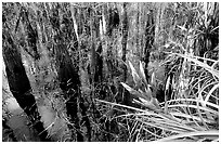 Bromeliad and bald cypress inside a dome. Everglades National Park, Florida, USA. (black and white)