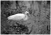 Ibis. Everglades National Park, Florida, USA. (black and white)