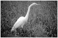 Great White Heron. Everglades National Park, Florida, USA. (black and white)