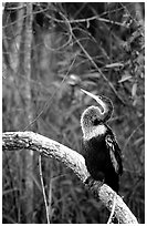 Ahinga. Everglades National Park, Florida, USA. (black and white)