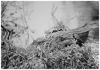 Alligator (scientific name: Alligator mississippiensis). Everglades National Park, Florida, USA. (black and white)