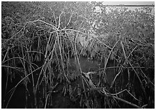 Red mangroves on West Lake. Everglades National Park ( black and white)