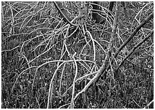 Intricate root system of red mangroves. Everglades National Park, Florida, USA. (black and white)