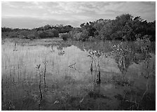Mixed marsh ecosystem with mangrove shrubs near Parautis pond, morning. Everglades National Park ( black and white)