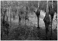 Bald Cypress reflections near Pa-hay-okee. Everglades National Park, Florida, USA. (black and white)