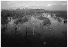 Freshwater marsh with Pond Cypress and sawgrass, evening. Everglades National Park, Florida, USA. (black and white)