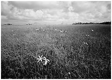 Swamp lilly (Crinum americanum) and sawgrass (Cladium jamaicense). Everglades National Park, Florida, USA. (black and white)