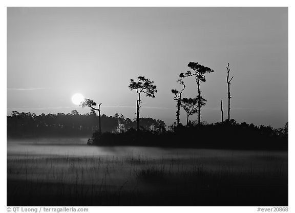 Sun rising behind group of pine trees with fog on the ground. Everglades National Park, Florida, USA.