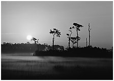 Sun rising behind group of pine trees with fog on the ground. Everglades National Park, Florida, USA. (black and white)