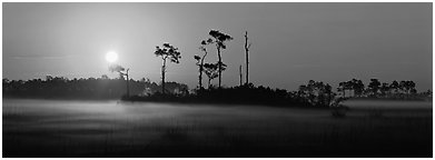Sun rises above pine trees and a layer of mist on the ground. Everglades National Park (Panoramic black and white)