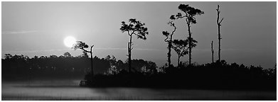 Sun rises above isolated pine trees. Everglades  National Park (Panoramic black and white)