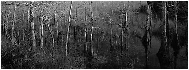 Marsh scene with cypress trees and reflections. Everglades  National Park (Panoramic black and white)