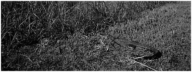 Young alligator. Everglades  National Park (Panoramic black and white)