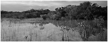 Mixed Marsh landscape with mangroves. Everglades  National Park (Panoramic black and white)