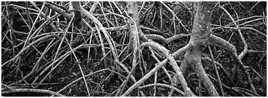 Tangle of mangrove roots and branches. Everglades  National Park (Panoramic black and white)