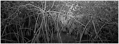 Mangrove landscape. Everglades  National Park (Panoramic black and white)