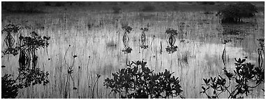 Mangroves and reflexions. Everglades  National Park (Panoramic black and white)