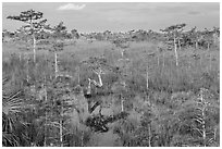 Cypress landscape with Z-tree. Everglades National Park, Florida, USA. (black and white)
