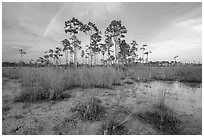 Pine trees and rainbow in summer. Everglades National Park, Florida, USA. (black and white)