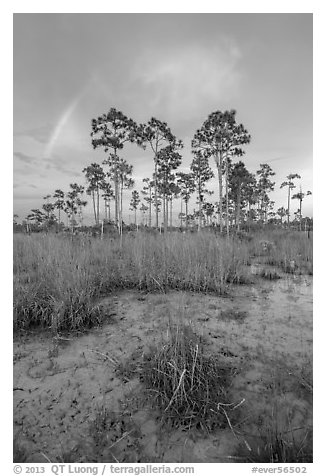 Pine trees and rainbow at sunset. Everglades National Park, Florida, USA.
