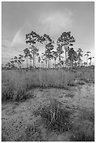 Pine trees and rainbow at sunset. Everglades National Park, Florida, USA. (black and white)