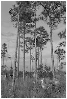 Great white heron amongst pine trees. Everglades National Park ( black and white)