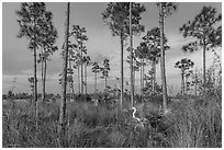 Pinelands with great white heron. Everglades National Park, Florida, USA. (black and white)