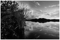 Paurotis pond and reflections. Everglades National Park ( black and white)