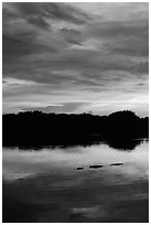 Alligator swimming in Paurotis Pond, sunset. Everglades National Park, Florida, USA. (black and white)