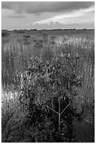 Freshwater marsh with Red Mangrove. Everglades National Park, Florida, USA. (black and white)