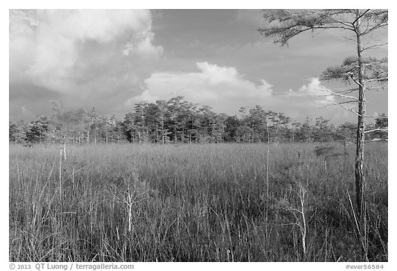 Sawgrass and cypress dome in summer. Everglades National Park, Florida, USA.