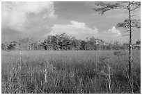 Sawgrass and cypress dome in summer. Everglades National Park, Florida, USA. (black and white)