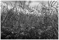 Flowers and tall grasses in summer. Everglades National Park, Florida, USA. (black and white)
