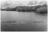 Two alligators swimming. Everglades National Park, Florida, USA. (black and white)