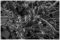Tampa Butterfly Orchid (Encyclia tampensis). Everglades National Park, Florida, USA. (black and white)