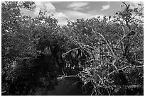 Native Florida orchid and Pond Apple growing in water. Everglades National Park ( black and white)