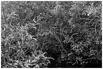 Pond Apple with fruits growing in marsh. Everglades National Park ( black and white)