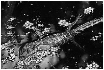 Baby alligator in pond. Everglades National Park, Florida, USA. (black and white)