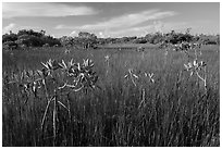 Dwarfed red mangroves in summer. Everglades National Park ( black and white)