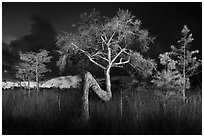 Z tree and cypress at night. Everglades National Park ( black and white)